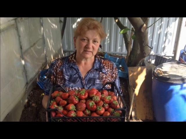 ЧАМОРА ТУРУСИ! Японский сорт с огромной ягодой. (видео для сайта КЛУБНИКА-МАЛИНА)