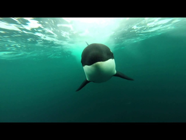 Orcas following my boat....underwater view!