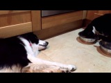 Tired dog can't even get up to save his food from the clutches of the cat