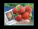 Клубника в Беларуси. ШАРЛОТТА - вкуснейший, ремонтантный сорт из Франции.