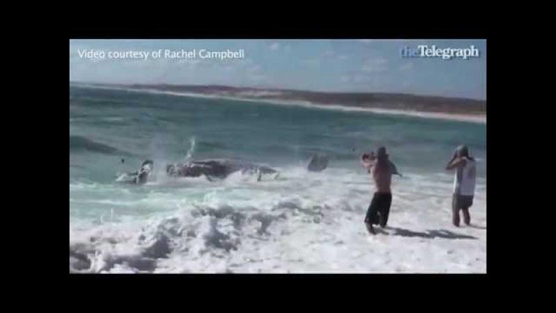 Shark feeding frenzy - Whale carcass. Sufers spot