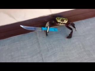 Краб с ножом - Ану иди сюда! Ржач,угар,прикол !!