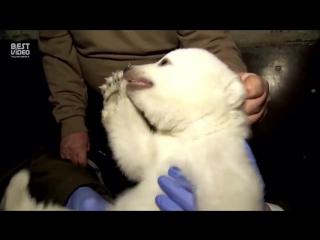 Ветеринары осмотрели детеныша белого медведя