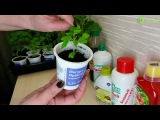Как правильно поливать рассаду