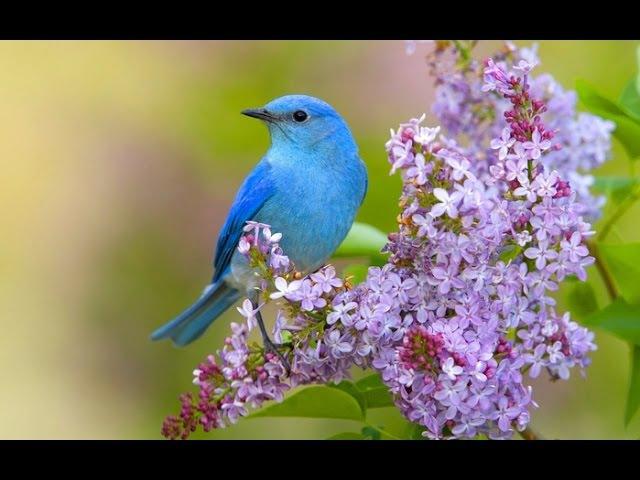 Пение соловья и лесных птиц: активизация всех систем организма. Очищает помещение от негатива