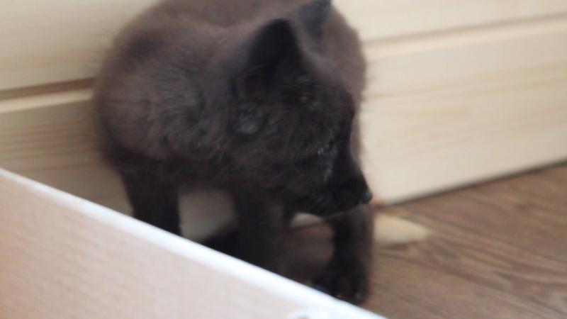 Серебристо-чёрная лисичка