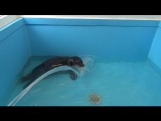 Спасённый тюленёнок Валдай пришёл в щенячий восторг от возвращения в воду