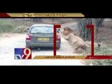 Close encounter with Lion for Safari tourists ! - TV9