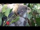 У зоопарку Сіднея відвідувачам показали дитинча коали