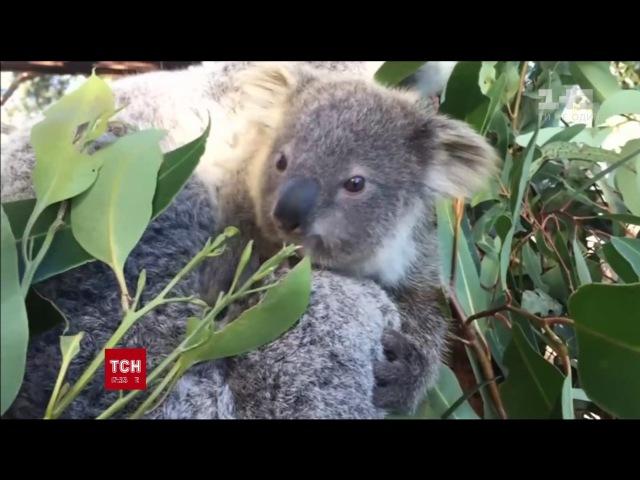 У зоопарку Сіднея відвідувачам показали дитинча коали смотреть онлайн без регистрации