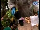 Как сделать выгонку луковичных культур уДачное время. Дача