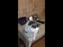 Кот попрошайка