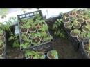Выращивание клубники FRIGO Высадка рассады первые шаги