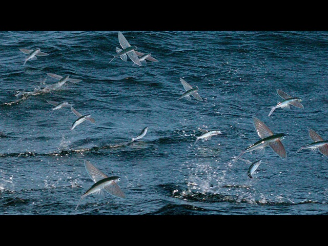 Flying Fish Picked Off From Above And Below | The Hunt | BBC Earth