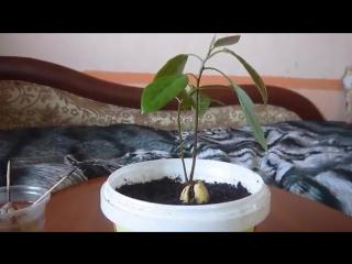 Как вырастить авокадо дома. (1 часть)