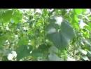 Выращивание огурцов и томатов в большой теплице