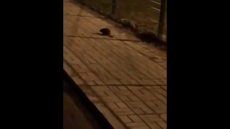 Эта крыса на кота похожа