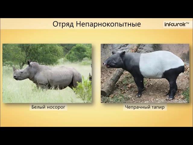 43 Класс млекопитающие Отряды Парнокопытные, Непарнокопытные