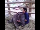 Этот 3-месячный слоненок думает, что он щенок! Милота!