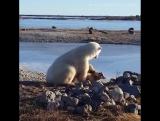 Polar Bear Stroking Dog
