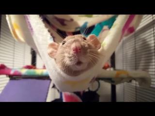 Savannah ʕ•.•ʔ Rat Servant
