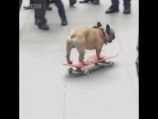 Бульдог на скейте заехал в наш лондонский офис