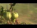 ответы на вопросы о выращивании томата в теплице
