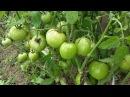 Выращивание ПОМИДОРОВ (томатов) в открытом грунте в средней полосе