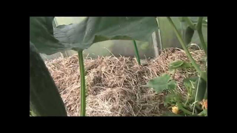 важные моменты в формировании растения огурца в теплице