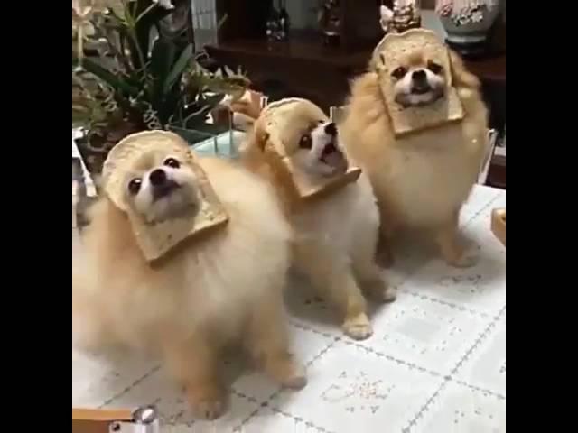 Dog meme - Bread Pomeranian
