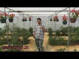 Как правильно поливать томаты.  Разные варианты