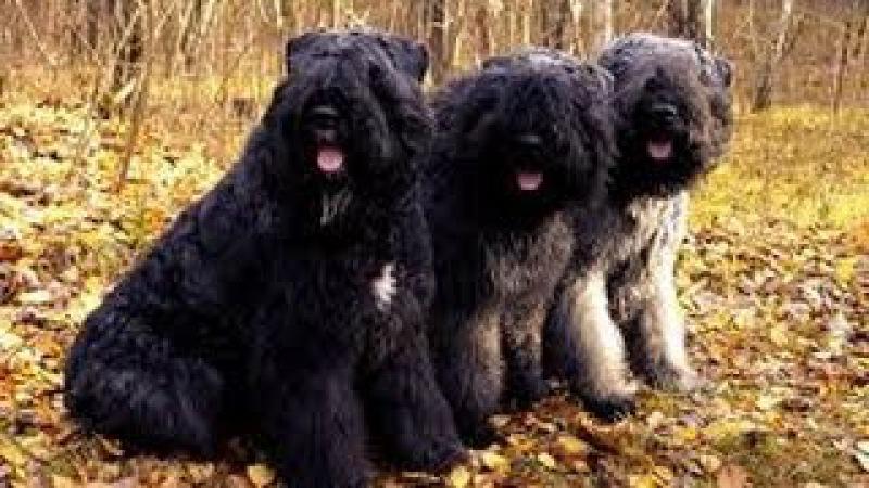 Фландрский бувье, все породы собак, 101 dogs. Введение в собаковедение.