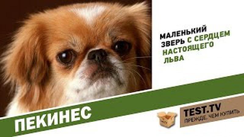 TEST.TV: Животные. Самая избалованная порода Пекинес.