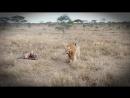 Лев, животное-мудак_ секс 40 раз в день, многоженство, драки, тунеядство