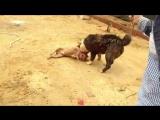собачьи бои алабай питт 360