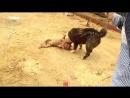 собачьи бои алабай питт [360]