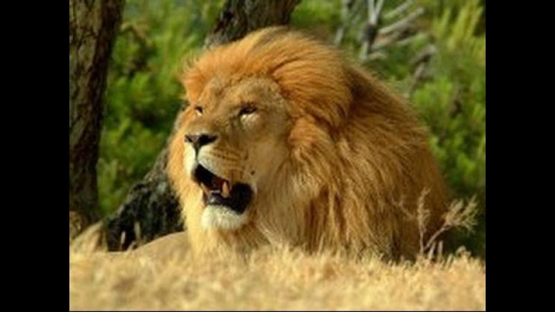 Хищники-убийцы Африки. Саванна. Лев царь зверей. Документальный фильм.