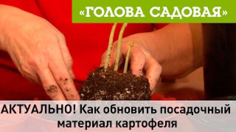 Голова садовая - АКТУАЛЬНО! Как обновить посадочный материал картофеля