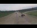 В Якутии медведица с тремя медвежатами вышли на дорогу