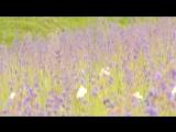 Прогулка по белогорью. Цветет шалфей поникающий.