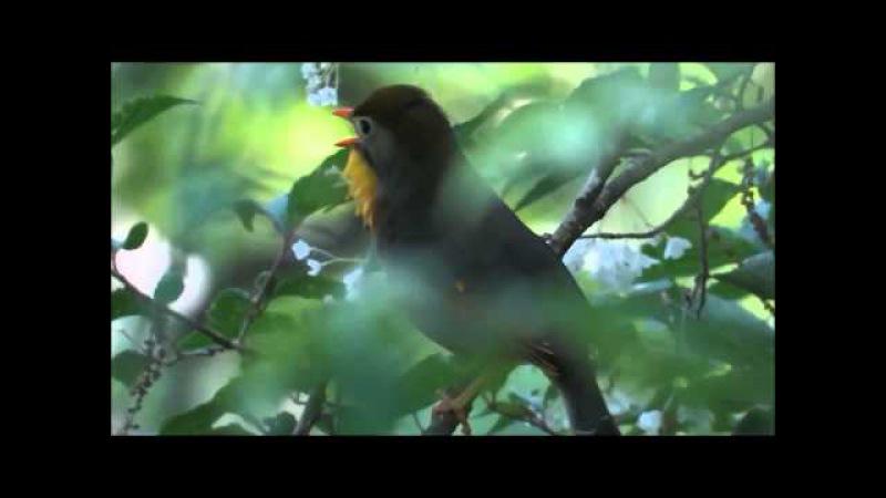 ソウシチョウ:相思鳥:Leiothrix lutea-金剛山-2015 05 20