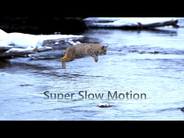 Jumping Bobcat Slow Motion | Planet Earth II