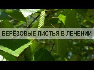 Берёзовые листья. Применение березовых листьев в лечении