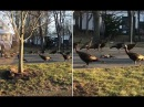 Sinister moment turkeys perform death dance around a dead cat