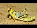 Казнь египетская саранча пустынная