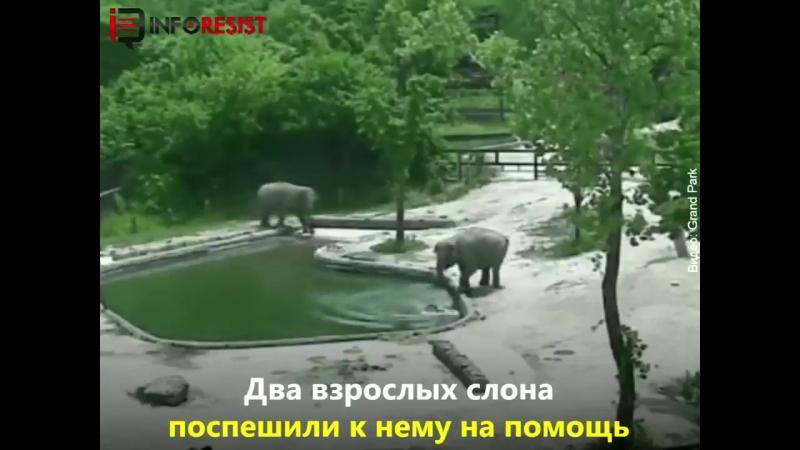 Як слони рятували слоненя