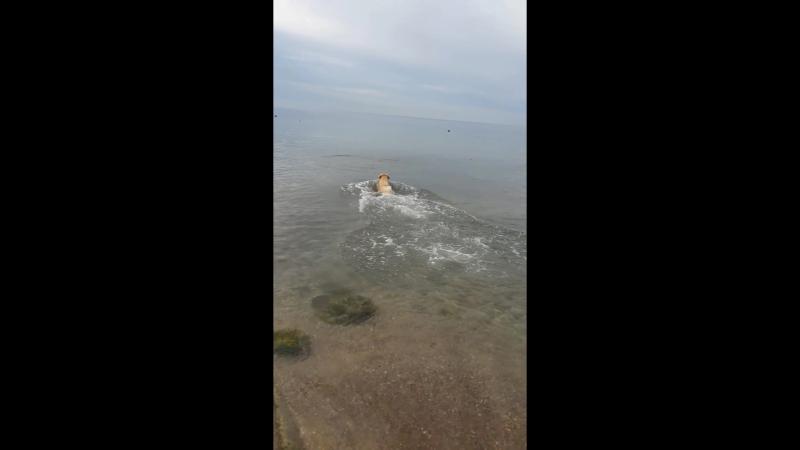 Собака водолаз ныряет в глубину за камнем, брошенным хозяином
