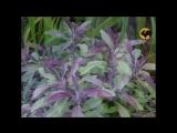 Сад и огород - Шалфей ...