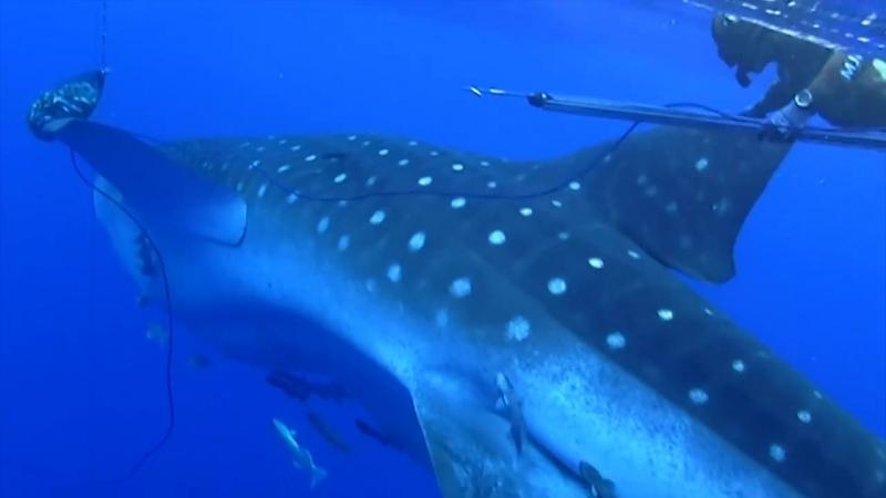 Китовая Акула - близкий контакт ...