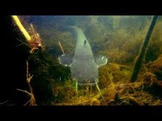 Подводная охота на сома, огромные экземпляры по 100 кг. Речные монстры Гиганты.
